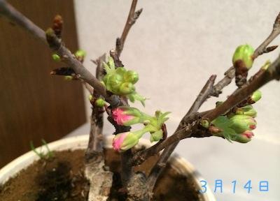 Sakura140316 1