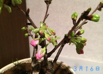 Sakura140316 2