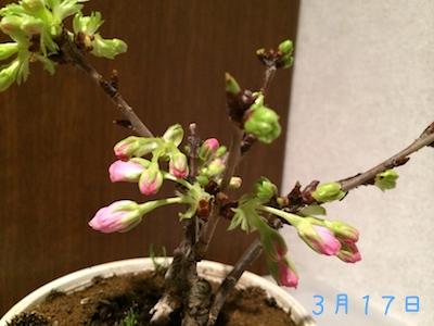 Sakura1403171