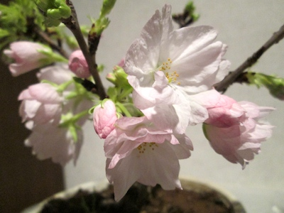 Sakura1403192