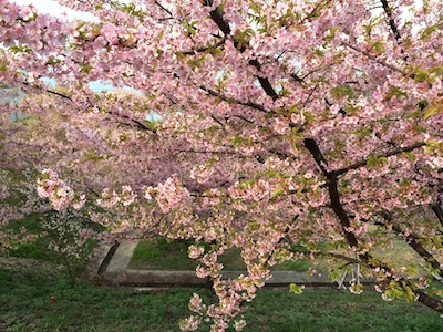 Sakura1403211