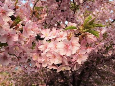 Sakura1403212