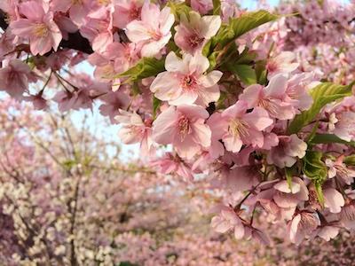 Sakura1403213